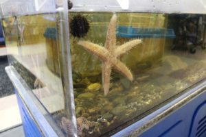 Starfish and sea urchins hang on the side of the tank