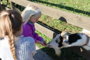 student feeding a goat